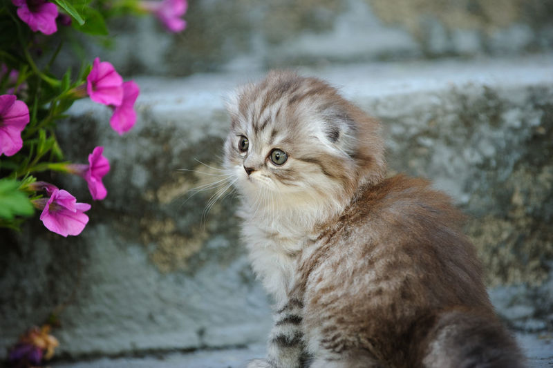 Grey tabby Scottish Fold kitten Cat Mammal Feline Animal Animal Themes Domestic Cat Pets Domestic Animals Domestic One Animal Flowering Plant No People Flower Pink Color Day Close-up Kitten Tabby Grey Tabby Scottish Fold Scottish Fold Kitten Pretty