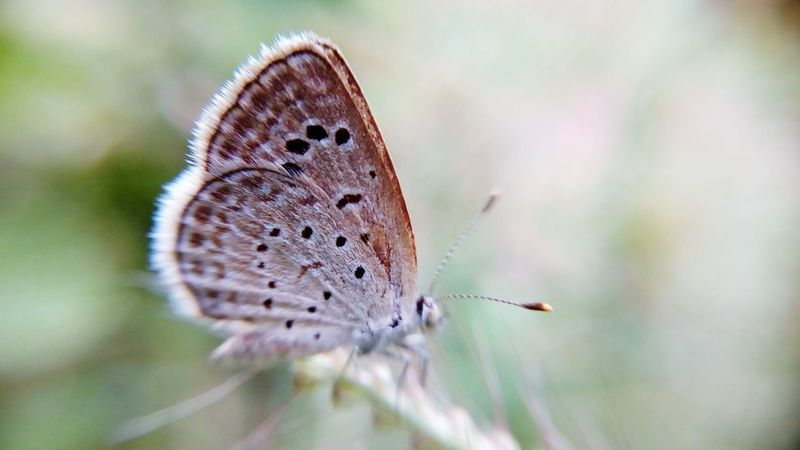 EyeEm Selects Insect Butterfly - Insect Animals In The Wild One Animal Animal Wildlife Animal Themes No People Nature Plant Close-up Day Fragility Spread Wings Outdoors Perching Beauty In Nature Flower Freshness Common Blue Butterfly POLYOMMATUS ICARUS