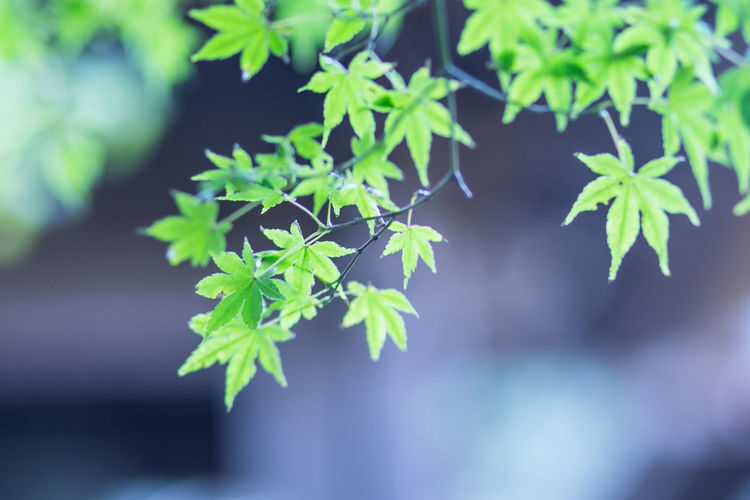 Beautiful Japan ASIA Asian  Calm Feng Shui Japan Japan Photography Japanese  Japanese Maple Kamakura Nature Nature Photography Tree Bamboo Bamboo Forest Beautiful World Leaf Leaves Maple Maple Leaves Mapleleaf Zen