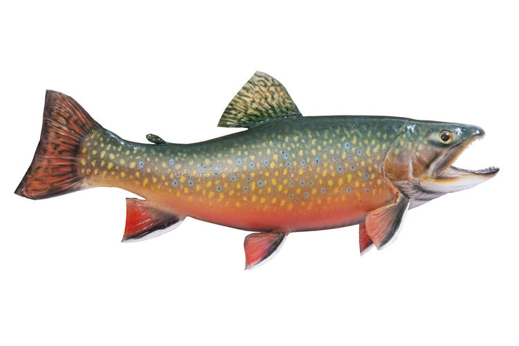 Close-up of brook trout over white background