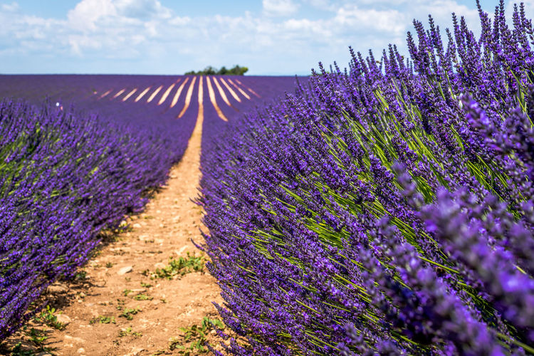Agriculture Beauty In Nature Day Farm Field Flower Flower Head Flowerbed Flowering Plant Fragility Freshness Growth Land Landscape Lavender Lavender Colored Nature No People Outdoors Plant Purple Rural Scene Scenics - Nature Tranquility Vulnerability