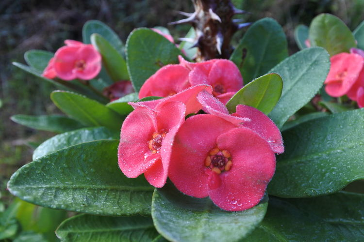 Poy Sian Flower Beauty In Nature Close-up Day Flower Flower Head Focus On Foreground Fragility Freshness Green Color Growth Inflorescence Leaf Nature Outdoors Petal Pink Color Plant Plant Part Red
