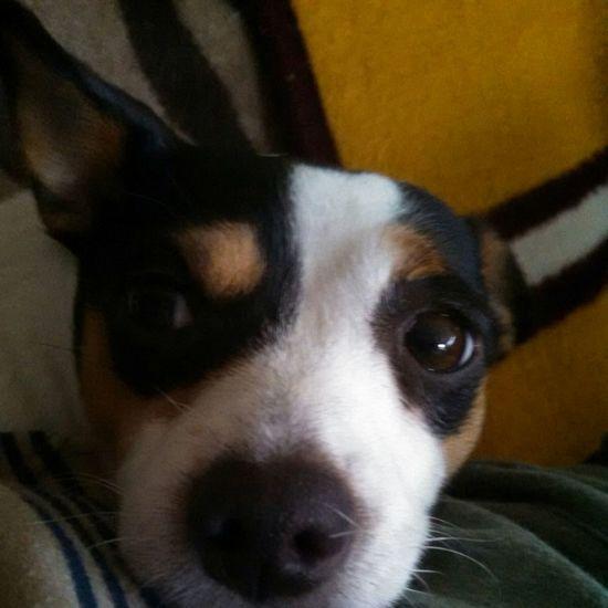 my kid lol Rat Terrier Rattie Doggy Bestfriend KAWAII Cute