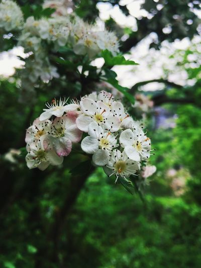 Nature Flower Freshness White Color Beauty In Nature White Fragility Growth Close-up Blossom Springtime Apple Tree Stamen Tree Branch Focus On Foreground Orchard Petal Apple Blossom Cherry Blossom In Bloom