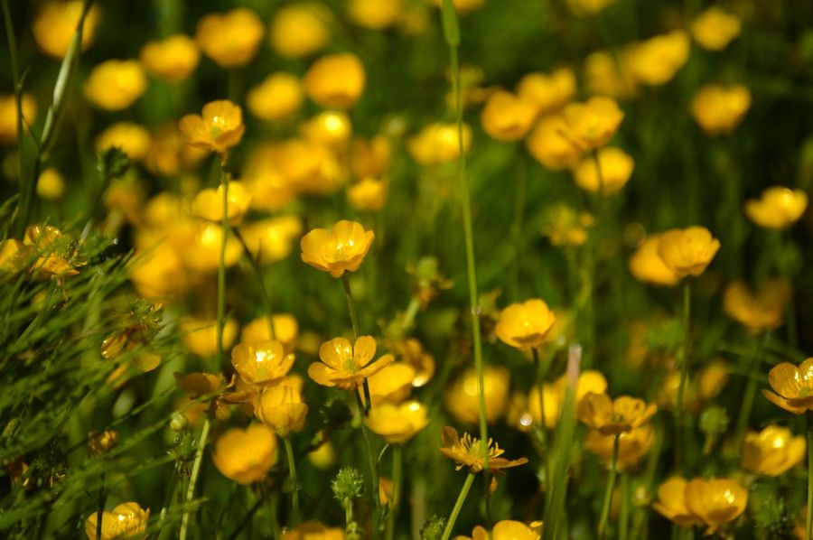 Wild flowers on the path to the lake. Flower Photography Beauty In Nature Flowers No People Yellow PNW Nature_collection Flower Defocused Beauty Illuminated Flower Head Summer Blossom In Bloom