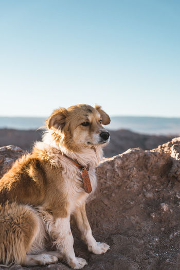 Dog looking away on rock on mountain against clear sky