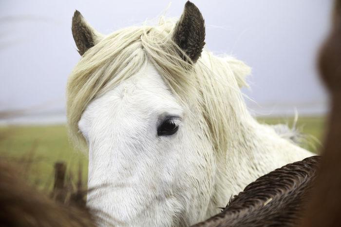 Close up of a white horse Iceland Pony Stalion Animal Eyes Farm Animal Headshot Horse Icelandic Horse Looking Mammal Outside White