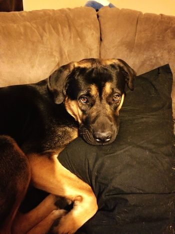 The I'm sorry face German Shepherd Pets Portrait Dog Sitting Relaxation Home Interior Sofa Looking At Camera