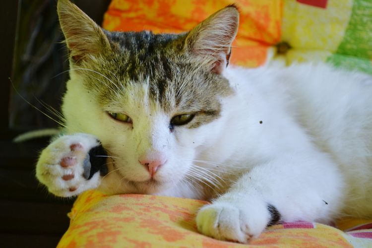 Lazy Cat Relaxing Pets Feline Domestic Cat Portrait Whisker Close-up Ear Animal Eye Snout Eye Animal Nose Adult Animal HEAD Tabby Cat