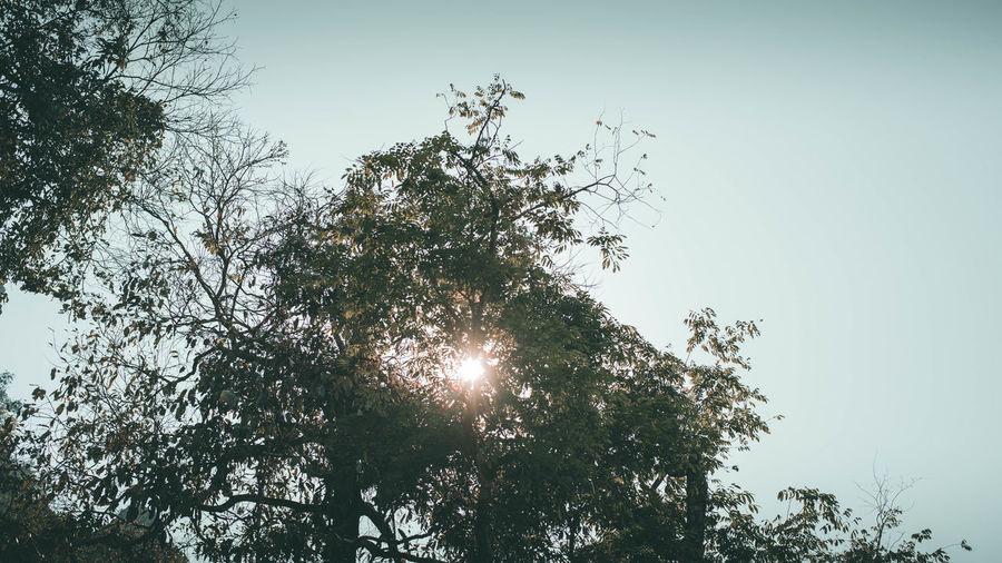 sunbeam Tree
