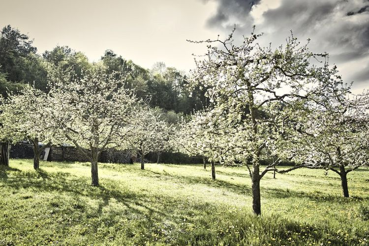 View of cherry blossom tree in field