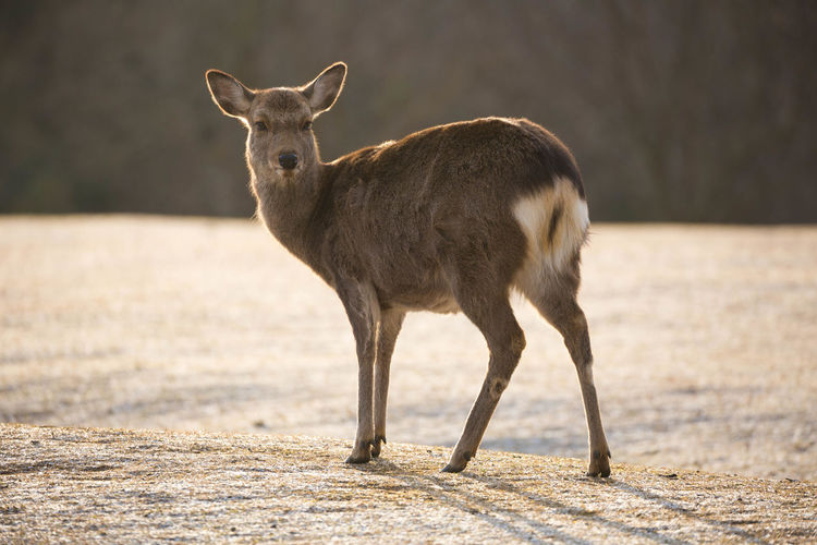 飛火野 奈良公園 Nara Park Early Morning Cold Temperature Nara Tobihino Japan Wind Instrument Standing Landscape Deer Cold Winter