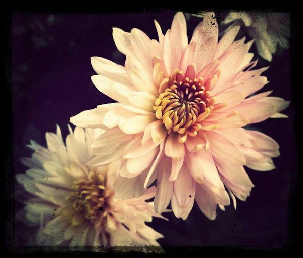 EyeEm a beautiful liar... Flowers 25 Days Of Summer Taking Photos