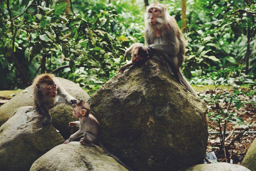 Macaque Monkey Monkeys Bali INDONESIA