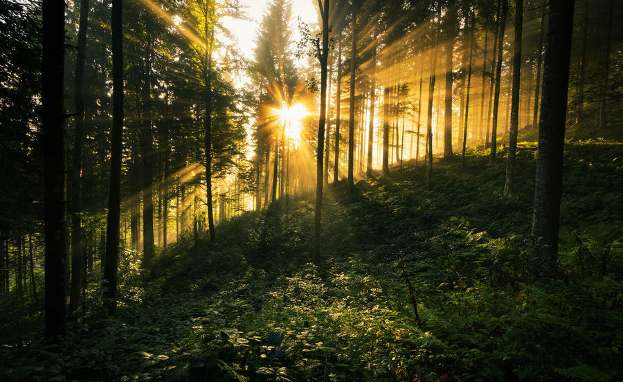 Rays of Light. Rays Of Light Beauty In Nature Blackforest Early Morning Forest Growth Light And Shadow Misty Morning Nature No People Outdoors Rays Of Sunlight Scenics Tree