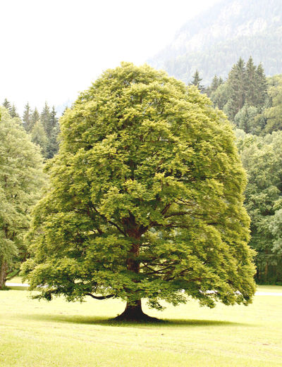 Beauty In Nature Green Green Color Landscape Linden Tree Lush Foliage No People Outdoors Tree