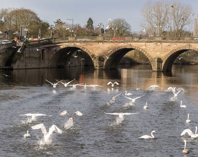 Swans on the River Severn in Worcester, UK Swans Swans ❤ Swans On The Lake Worcester Animals In The Wild Water Animal Themes Animal Animal Wildlife Bird Vertebrate Group Of Animals Large Group Of Animals River Architecture Bridge - Man Made Structure Bridge Built Structure Nature Waterfront Flying Arch Day No People Arch Bridge Outdoors Seagull Flock Of Birds