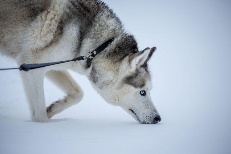 Siberian husky on snowcapped field