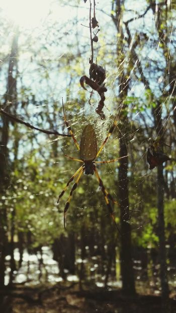 ◇ Can't resist capturing spiders. No seriously, this is a problem. I will go straight into a spider traphouse. ◇ Samsungphotography Banana Spider Mobilephotography OpenEdit Trees Entomology Forestwalk Southern Spiders Alabama Alabama Outdoors Greenery Woods Forest Discovering Nature Banana Spider Bugs Bugslife 8 Legs Web Watching The South Spiders Spider Web Spider Web Focus On Foreground Nature No People Outdoors Insect Close-up