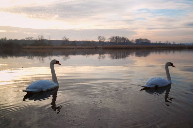 Auf Streife Beauty In Nature Reinheimer Teich My Point Of View Nature Photography Nature_collection Cold Temperature Cold Condition Landscape Gold Colored Animal Themes Bird Water Swan Dawn Lake Reflection Sky Water Bird White Swan Swimming Animal