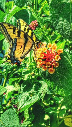 Beauty In Nature Tiger Swallowtail Butterfly Tiger Swallowtail , Butterfly Butterfly Collection Insect Photography Flowerporn EyeEm Best Shots EyeEm Nature Lover Eye For Photography Check This Out Taking Photos Tigerswallowtail Colour Of Life Color Palette Home Is Where The Art Is The Essence Of Summer Getty+EyeEm Collection Getty Images Getty