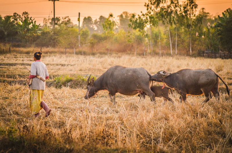 Full Length Of Woman With Buffaloes Walking On Field