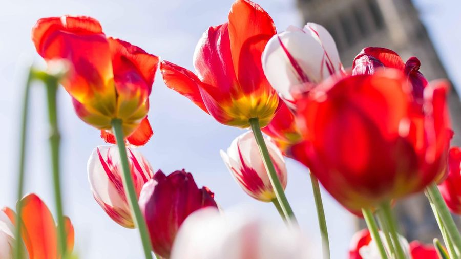 Festival des tulipes 2018 / Tulips festival 2018 Canada Festival Nikon EyeEmNewHere Flower Ottawa Parliament EyeEm Selects Flowering Plant Flower Beauty In Nature Plant Vulnerability  Fragility Petal Close-up Tulip Selective Focus Red Nature Flower Head Day Growth Blossom Freshness EyeEmNewHere