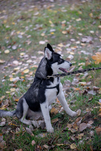 Siberian husky dog with blue eyes sits and looks ahead Husky Siberian Husky Siberian Dog Puppy Pets Pet Domestic Animals Canine Mammal One Animal Vertebrate Cute Dog  Autumn Morning Walk Alaskan Blue Eyes Autumn Leaves Portrait Looking At Camera Cute Puppy Beautiful Dog One Dog Only