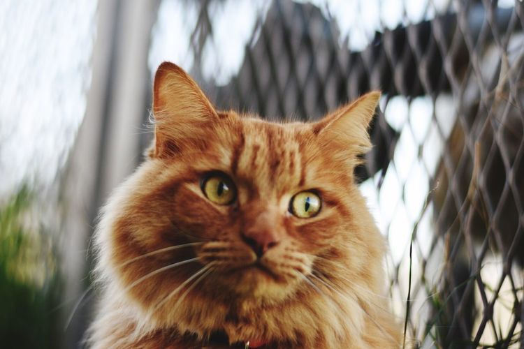 Domestic Cat Domestic Animals Animal Themes Looking At Camera One Animal Pets Feline Portrait Whisker Close-up Focus On Foreground Outdoors Day Orange Cat Kitty Cat Catlover Catslife Kitty Cat Cats Mammal No People Animal Kitty!  Animal Wildlife