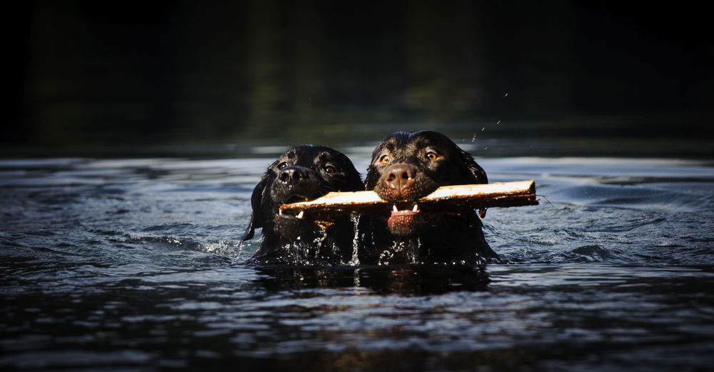 Labrador retrievers carrying stick in mouth while swimming in lake