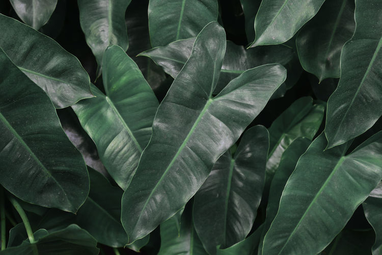 Heart leaves for background. Backgrounds Beauty In Nature Botany Close-up Day Freshness Full Frame Green Color Growth Leaf Leaf Vein Leaves Natural Pattern Nature No People Outdoors Pattern Plant Plant Part Tranquility EyeEmNewHere