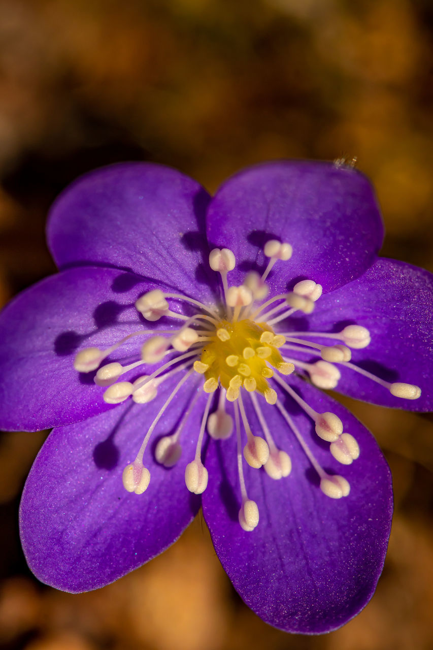 CLOSE-UP OF PURPLE CROCUS WITH BLUE FLOWER