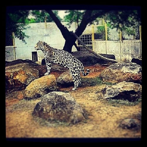 My new favourite!! JAGUAR Toobeautiful Lovethewild