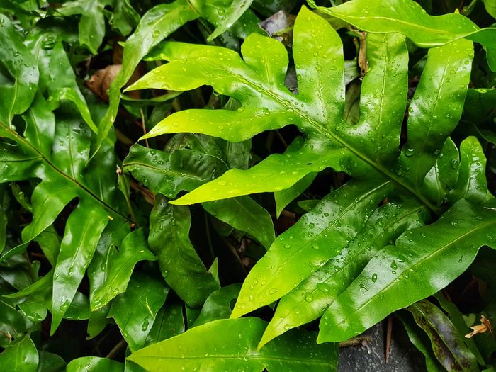 Fern Leaf Backgrounds Full Frame Close-up Plant Green Color Frond Palm Leaf Curled Up Snake Palm Frond Tendril Dew Leaf Vein RainDrop Drop Plant Life Blade Of Grass Monsoon Plant Part Rainy Season