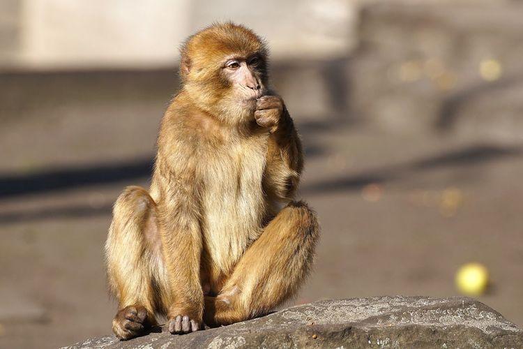 Monkey sitting on rock at tierpark berlin zoo