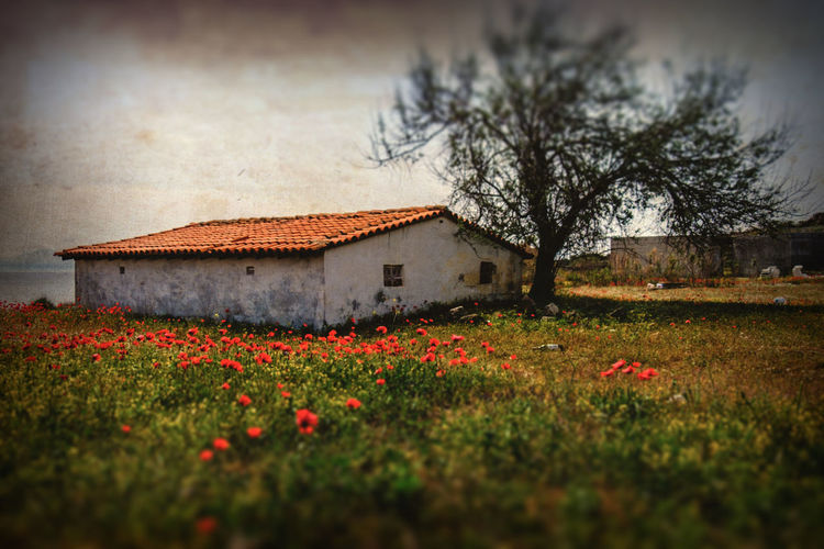 The flat house under the tree and the corn poppies at the garden. Plant Flower Flowering Plant Architecture Building Exterior Tree Built Structure Nature Building Land House Sky Beauty In Nature Field Grass Landscape Freshness No People Growth Selective Focus Outdoors Corn Poppy Fine Art Photography