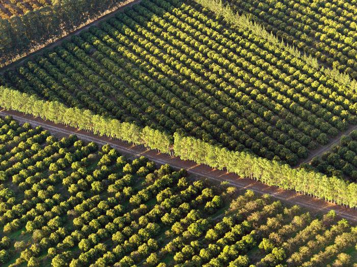Citrus field aerial view
