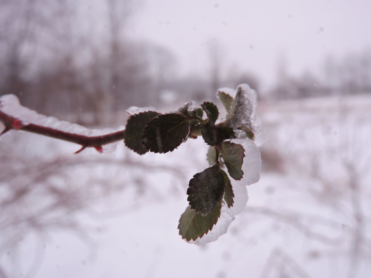 nature, winter, beauty in nature, plant, cold temperature, fragility, focus on foreground, outdoors, close-up, flower, day, growth, snow, no people, freshness, flower head