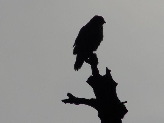 Bird Bird Of Prey Buzzard  Day Nature No People Outdoors Perching Silhouette