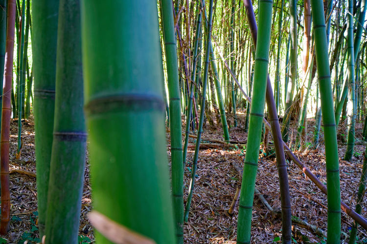 Bamboo forest Nature Nature_collection Freshness Beauty In Nature Forest Wood Bamboo - Plant Bamboo Grove Bamboo Forest Plant Growth Green Color Land Tranquility Bamboo No People Tree Day Outdoors Tree Trunk Field Trunk Tranquil Scene Non-urban Scene Plantation