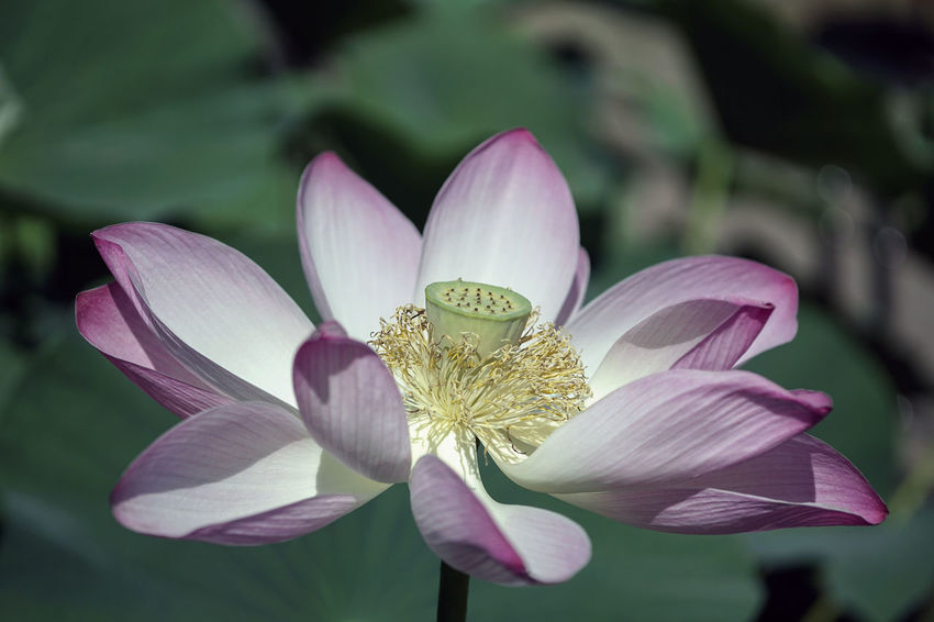 Waterlily Beauty In Nature Close-up Day Flower Flower Head Flowering Plant Focus On Foreground Fragility Freshness Growth Inflorescence Leaf Lotus Water Lily Nature No People Outdoors Petal Pink Color Plant Pollen Vulnerability