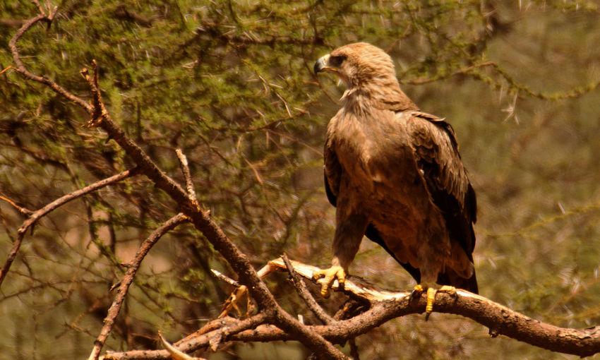 Eagle Kenya Masai Mara Animal Themes Animals In The Wild Bird Brown Day Nature One Animal Outdoors