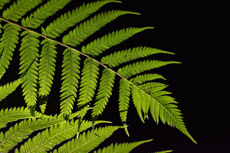 Close-up of fern leaves against black background