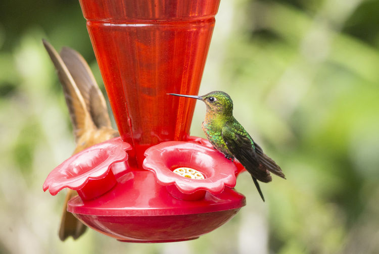 Close-up of red bird perching on feeder