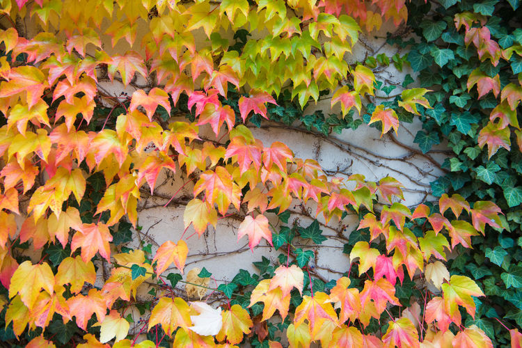 Autumn leaves over wall background Plant Part Autumn Leaf Plant Nature Beauty In Nature Orange Color Change Day No People Close-up Vulnerability  Fragility Maple Leaf Leaves High Angle View Yellow Growth Outdoors Abundance Natural Condition Fall Autumn Collection