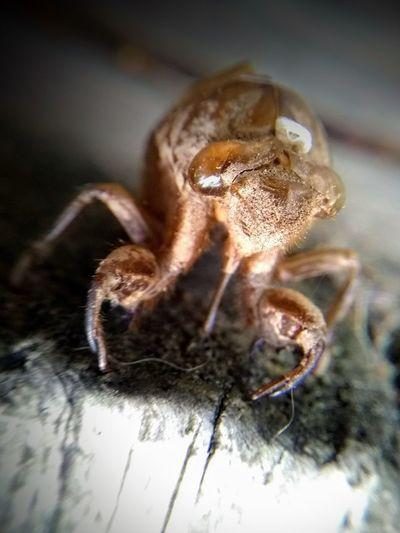 Cicada shell...