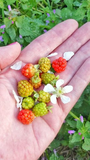 Human Hand Multi Colored Flower Holding Close-up Nature People Freshness Food Outdoors Women Fruit Lifestyles Flower Head Adult Berry Fruit Variation Unripe Palm Healthy Eating Wild Blackberries Dew Berries Blackberry Backgrounds Room For Text Break The Mold TCPM Visual Feast
