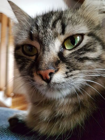 Pets Domestic Animals Domestic Cat Animal Themes Looking At Camera Portrait One Animal Whisker Mammal Close-up Indoors Feline No People Day Pet Portraits