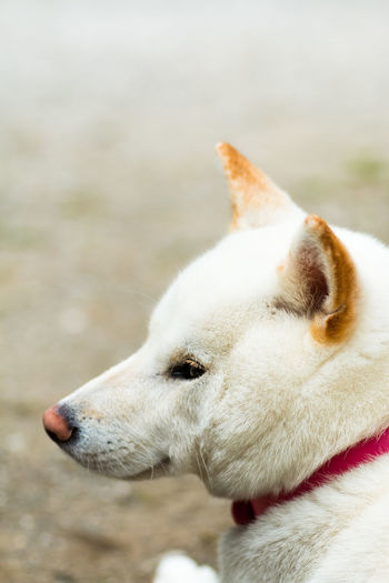 Close-Up Of White Shiba Inu