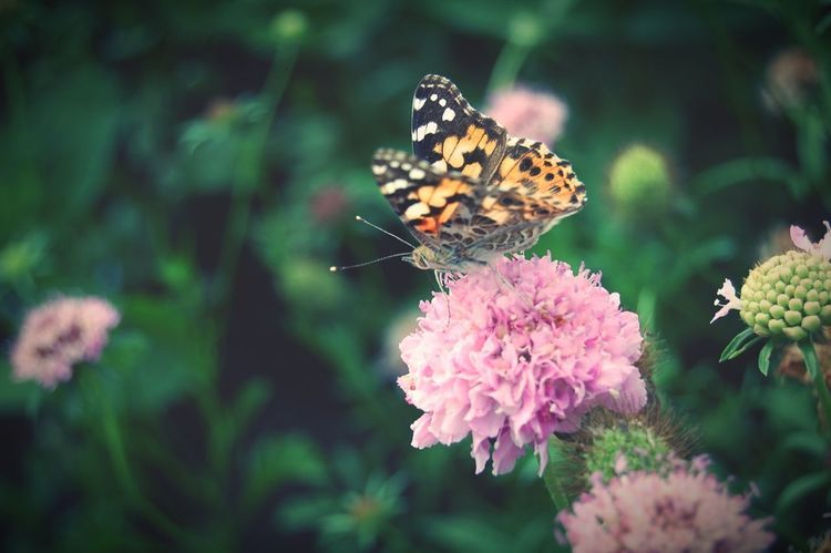 painted lady butterfly on purple scabiosa flower Painted Lady Butterfly ❤ Butterfly Butterflies Scabiosa Flower Purple Flower Crossprocessed Crossprocess